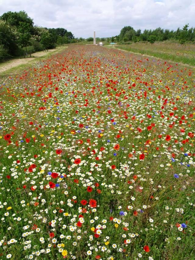 Poppy field - David Millington